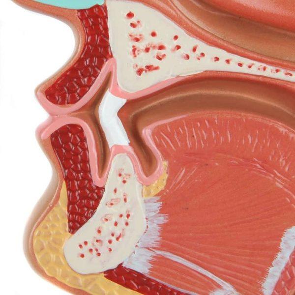 Anatomical Sinus Model